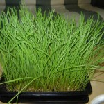 Taking a shot of wheatgrass juice is a quick way to fill the body with needed nutrients.