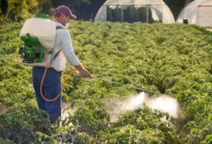 picture of Man spraying vegetables in the garden with insecticide