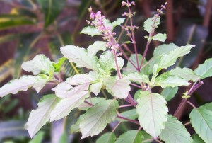 picture of ayurvedic plant
