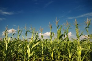 picture of Young vegetation on a corn field against the sky