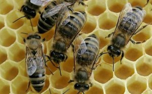 picture of bees