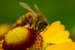 picture of bee with pollen