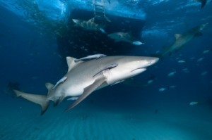 picture of shark with fins