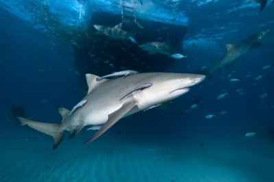 Medical Benefits from Shark Cartilage