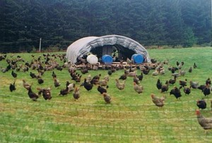 picture of pasture chickens