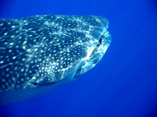 Whale shark Roatan HondurasPhoto By Ed B.