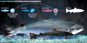 picture of G-M-Salmon-FDA-Genetically-Modified-Fish