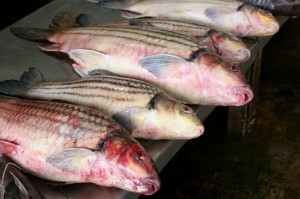 Red snapper was found to be the most commonly mislabeled fish according to recent studies using DNA testing.