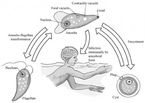 brain eating amoeba