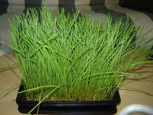The greatness of Wheatgrass