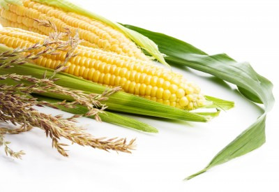 Organ Damage and Failure Linked To Monsanto's GM Corn