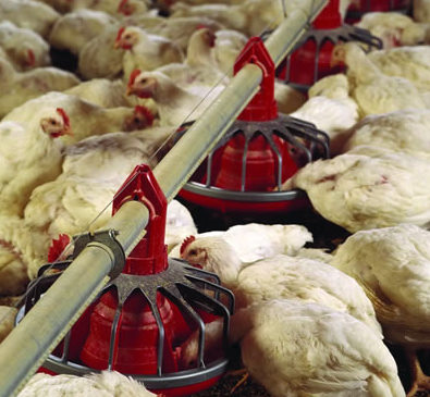 """Chicken Contains Cancer Causing Arsenic Which is Added to Chicken Feed"" The FDA finally Admits"
